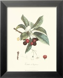 Cherries Posters by Pierre-Antoine Poiteau