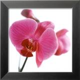 Pink Orchid Posters af Cédric Porchez
