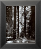 Redwoods, Founders Grove Plakater af Ansel Adams