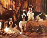 Springer Spaniels (Photo) Photo