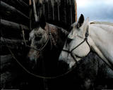 Horses (Hitched) Photo