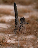 Greater Roadrunner (Tail Up) Posters