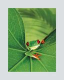 Tree Frog Plakater af Renee Lynn
