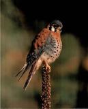 American Spotted Kestrel Bird Affiche