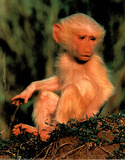 Baby Monkey (Wildlife) Posters