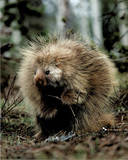 Porcupine (Sitting Up) Prints