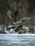 Canada Geese (In Flight) Posters
