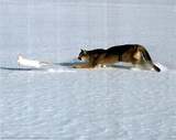 Cougar Chasing Rabbit (National Geographic) Prints