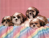 Puppies Print by Shih Tzu