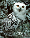 Snow Owl (Wildlife) Poster