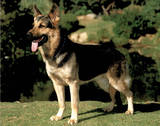 German Shepherd (Dog) Posters