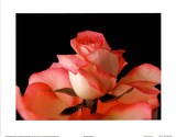 Pink White Rose Art Photo - Reprodüksiyon