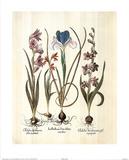 Iris Bulbs (Plant Study) Posters