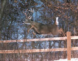 Deer Jumping Fence (Hart) Posters