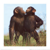 Chimpanzees Print by Michael Nichols