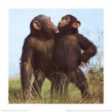 Chimpancés Láminas por Nichols, Michael