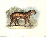 Antique Bengal Tiger Poster
