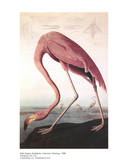 American Flamingo Psters por John James Audubon
