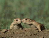 Pair Of Prairie Dogs (Kiss) Posters
