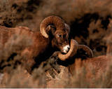 Rams Fighting (Wildlife) Poster