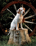 English Pointer Puppy (Sitting on Stump) Poster