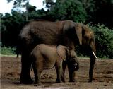 Elephant in Kenya Fotografía por Sarah Farnsworth
