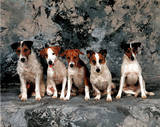 Jack Russell Terriers Dog Photo Print