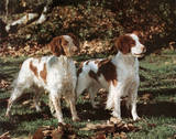 Brittany Spaniels (Animals) Prints
