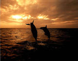 Dolphin in Ocean (Sunset) Posters