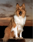 Collie (Sitting) Poster