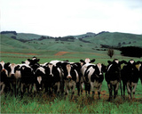 Herd Of Holstein Cows (Farm) Print