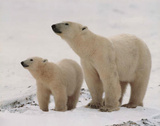 Polar Bears in Snow (Wildlife) Posters