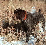 German Shorthair Pointer (Animal) Prints