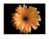 Yellow Gerbera Daisy (Color Close-Up) Poster