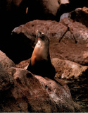 Sea Lion (On Rocks) Affiches