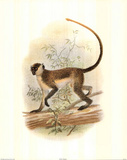 Guenon (Monkey) Prints