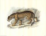 Wild Jaguar (Safari) Posters