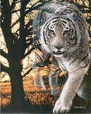 Spirit Of The White Bengal Tiger Posters by Gordon Semmens