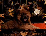 Chow Chow Puppy (Sitting in Drawer) Posters