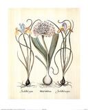 Iris (Plant Study) Poster