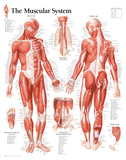 Muscular System Male Educational Chart Poster Pôsteres