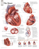 Laminated The Heart Educational Chart Poster Posters