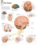 Laminated The Human Brain Educational Chart Poster Poster
