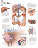 Laminated The Liver Educational Chart Poster Prints