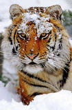 Tiger in Snow (Snow on Head) Art Poster Print Prints