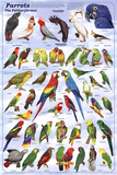 Laminated Parrots Educational Bird Chart Art Poster Fotografia