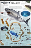 Sharks Dorling Kindersley Educational Poster Print Prints