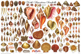 Laminated North American Shells Educational Science Chart Poster Prints