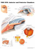 The Eye: Anterior and Posterior Chambers Anatomical Chart Poster Print Affiche