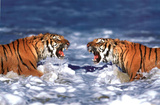 Laminated Bengal Tigers Roaring Poster Posters